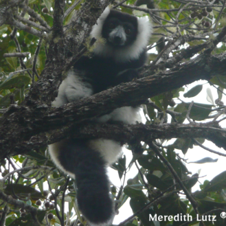Southern black and white ruffed lemur