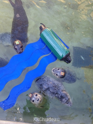 Harbor seal pups in rehab