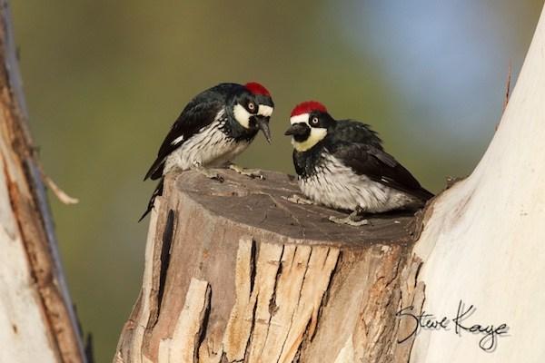 CF4_fig3_woodpeckers