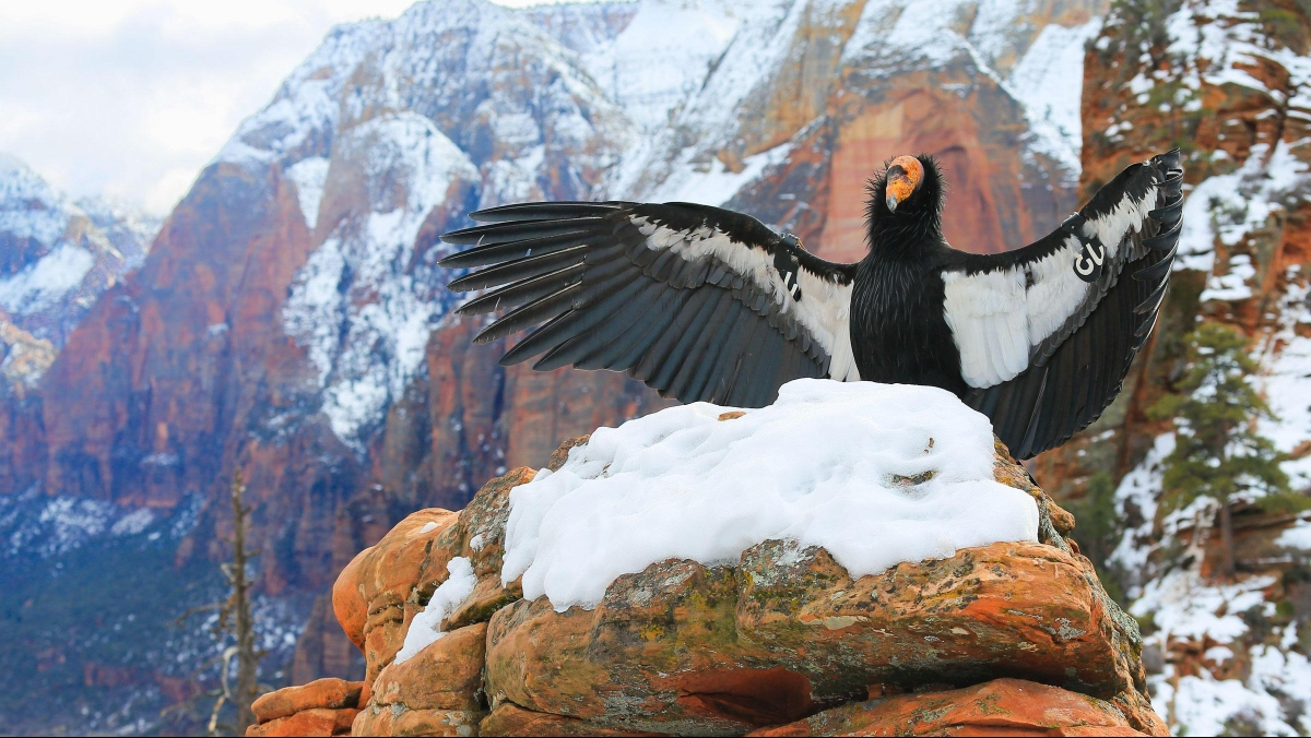 Creature Feature: California Condor