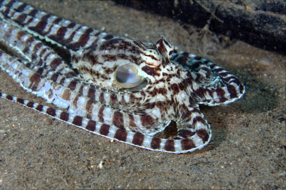 Mimicoctopus4.jpg