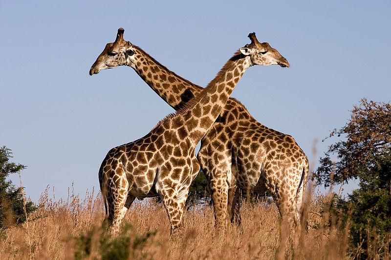 800px-Giraffe_Ithala_KZN_South_Africa_Luca_Galuzzi_2004