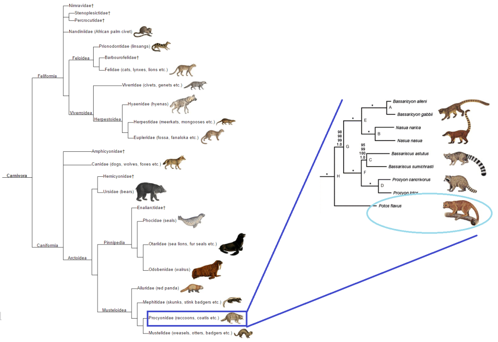 carnivora_phylogeny__expanded_procyonidae.png