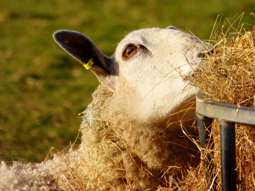 Sheep hay