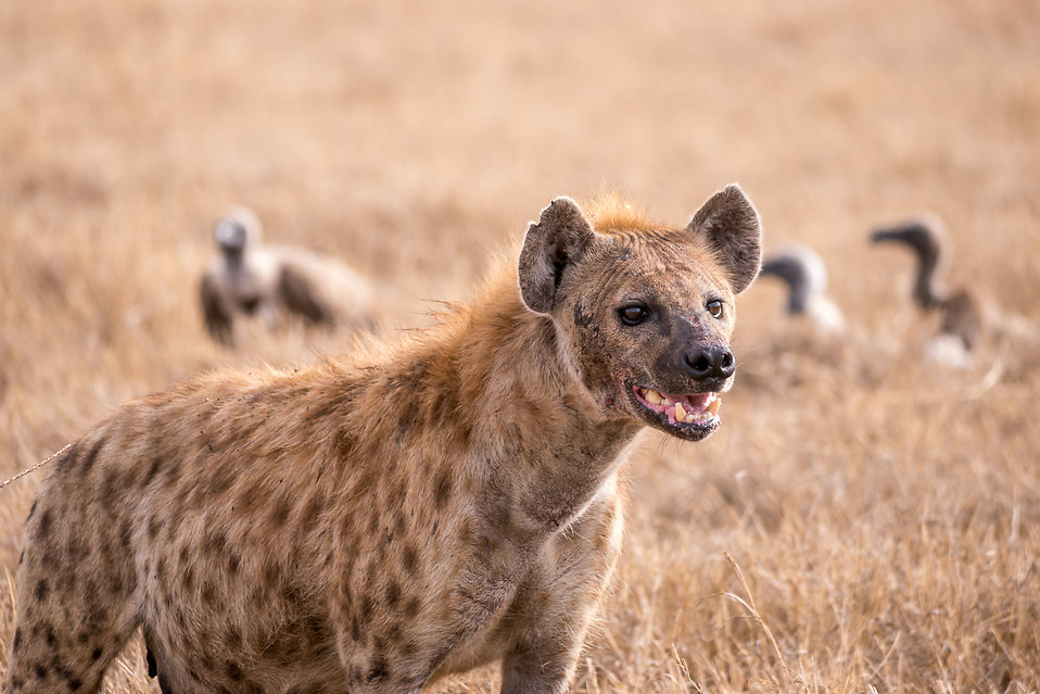 Creature Feature Spotted Hyena