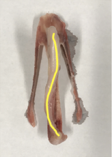 A deviated keel bone with the curvature highlighted in yellow. [Source: Allison Pullin]