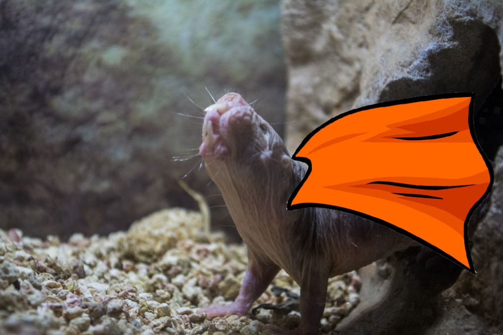 mole rat_cape