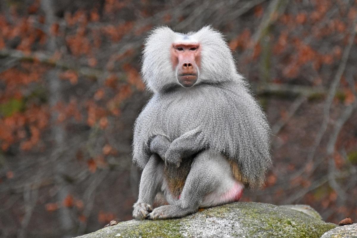 Creature Feature: Hamadryas Baboon