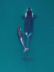 Credit: NOAA Fisheries, Vancouver Aquarium.