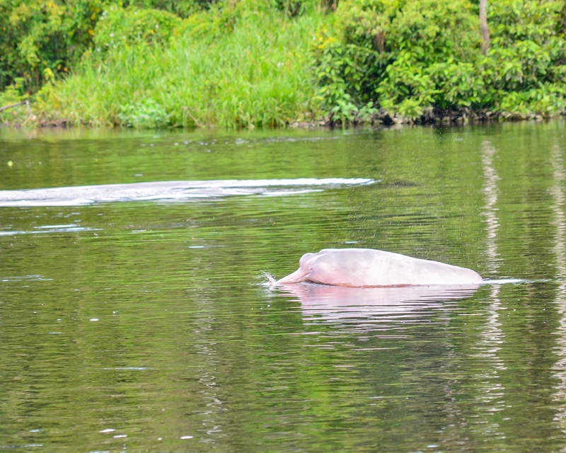 A pink Amazon River dolphin. The dolphin has a pointy nose, and is slightly grey on its back. It is swimming in a River, with green plants in the background on shore.
