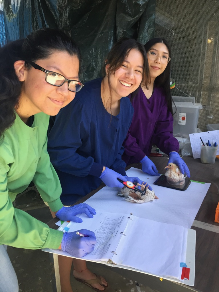 Three students, one writing in a notebook, one using calipers to measure a pigeon chick's leg, and another holding a pigeon chick over a scale.