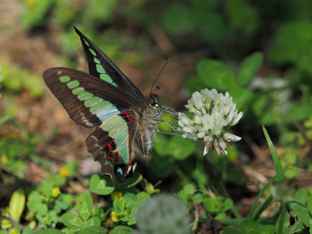 A dark colored butterfly with florescent green and blue spots on its wings.